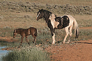 A majestic black pinto stallion keeping watch on his young foal at the water's edge in northern Wyoming.