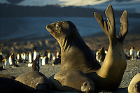 Southern Elephant Seal (Mirounga leonina)<br /><br />St. Andrews Bay<br />South Georgia<br />United Kingdom Overseas Territory<br />A Subantarctic Island in the Southern Ocean