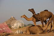 India-Pushkar Camels