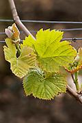 vine leaf chateau le boscq st estephe medoc bordeaux france