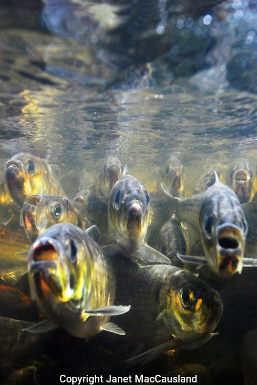 Panting with mouths open, River Herring swim hard against the current to reach their birthplace to spawn. <br /> <br /> Unlike Salmon, they do not die after spawning as a rule. They can return a few times, if they are strong and lucky.