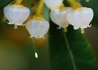 Lacewing egg on Lyonia ferruginea (Rusty lyonia).  Etoniah Creek State Forest, Florida USA.