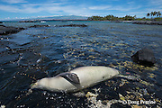 carcass of Hawaiian monk seal, Monachus schauinslandi( Critically Endangered, endemic species ), with fishing line coming out of mouth; 8 month old juvenile male named Keokea; necropsy later confirmed that seal died due to lung punctured by fishing hook; Keawaike Bay, South Kohala, Hawaii Island ( the Big Island ), Hawaii, U.S.A.
