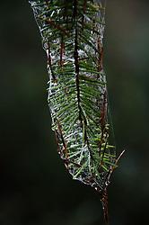 Web, evergreen, pine, needles, branch, Prevost Island, Gulf Islands National Park Preserve, British Columbia, Canada