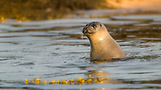 Harbour seal (Phoca vitulina) is the most common seal in Iceland