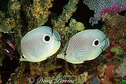 mated pair of four-eye butterflyfish, Chaetodon capistratus, Tavernier, Key Largo, Florida Keys National Marine Sanctuary ( Western Atlantic Ocean )