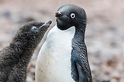 An Adélie Penguin (Pygoscelis adeliae) chick begs for food from its parent, Paulet Island, Antarctic Peninsula