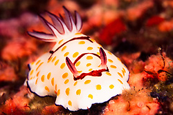 Sporting a pattern reminiscent of a bunch of fried eggs, a nudibranch, Chromodoris annulata, browses amidst a colony of encrusting sponge.   Mergui Archipelago, Myanmar, Andaman Sea