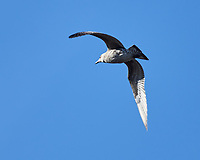 Lesser Black-backed Gull (Larus fuscus). Cascais, Portugal. Image taken with a Nikon D800 camera and 70-300 mm VR lens.