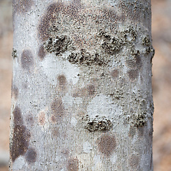 American beech, Fagus grandifolia.  Bark infected with fungus, Nectria coccinea var. faginata.  Acadia National Park, Maine.