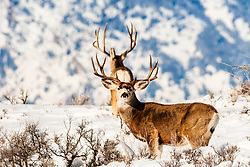 One trophy Mule deer buck frames another with his massive antlers on a winter day in Jackson Hole, Wyoming