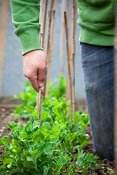 Supporting garden peas with canes - Pisum sativum