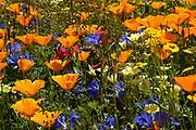 Californian poppy, Eschscholzia californica, Orange poppy flowers in summer sun in meadow. UK.
