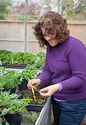Pricking out seedlings in a greenhouse