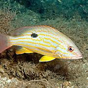 Lane Snapper inhabit shallow and mid-range reefs in Tropical West Atlantic; picture taken Blue Heron Bridge, Palm Beach, FL.