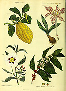 Citrus [Citron] Colchicum [Variegated Meadow Saffron] Cistus landaniferus [Spanish Gum Cistus] Coffea Arabica [Eastern Coffee Tree] from Vol 1 of the book The universal herbal : or botanical, medical and agricultural dictionary : containing an account of all known plants in the world, arranged according to the Linnean system. Specifying the uses to which they are or may be applied By Thomas Green,  Published in 1816 by Nuttall, Fisher & Co. in Liverpool and Printed at the Caxton Press by H. Fisher
