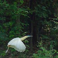 A Capped Heron   (Pilherodius pileatus) flies through Peru's Amazon Jungle.