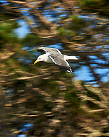 Western Gull. Image taken with a Nikon D3s camera and 70-300 mm VR lens.