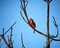 Northern Cardinal. Image taken with a Nikon D2xs camera and 80-400 mm VR lens (ISO 100, 400 mm, f/8.5, 1/320 sec).