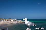 herring gull, Larus argentatus, in front of harbor at St. Ives, Cornwall, Great Britain, United Kingdom