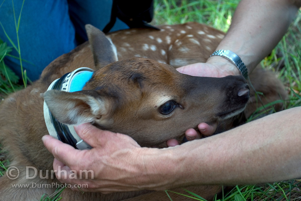 A 2 day old rocky mountain elk calf is outfitted with a radio collar by biologist Scott Findholdt with the Oregon Department Of Fish And Wildlife. Sled Springs Study Area in NE Oregon