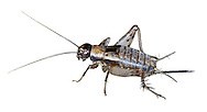 Wood Cricket - Nemobius sylvestris