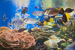 various reef fish swimming over tropical coral reef, - barred rabbitfish or barhead spinefoot, Siganus virgatus, bicolored foxface, Siganus uspi, surgeonfish and butterflyfish, Indo-Pacific Ocean (c)
