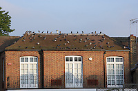 flock of feral pigeons on house roof