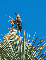 A female Gila Woodpecker, Melanerpes uropygialis, perches on a Yucca in the Desert Botanical Garden, Phoenix, Arizona