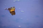 Bullfrog in Blue Water