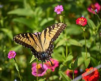 Tiger Swallowtail Butterfly. Image taken with a Leica CL camera and 55-135 mm lens