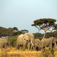Africa, Kenya, Amboseli. Elephants at Amboseli.