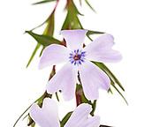 A sprig of Creeping Phlox (Phlox subulata) on a white background