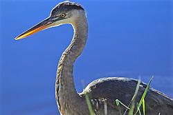 Great Blue Heron, Mrazek Pond