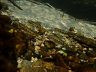 Mountain Whitefish (juvenile)<br />