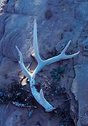 Mule deer antler on slickrock sandstone, Arches National Park, Utah.