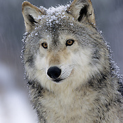 Gray Wolf (Canis lupus) portait of an adult in Montana. Captive Animal