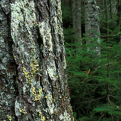 Nancy Brook Scenic Area, White Mountain National Forest. Old-growth boreal forest. Lichen on Red spruce trunk, Picea rubens. Livermore, NH