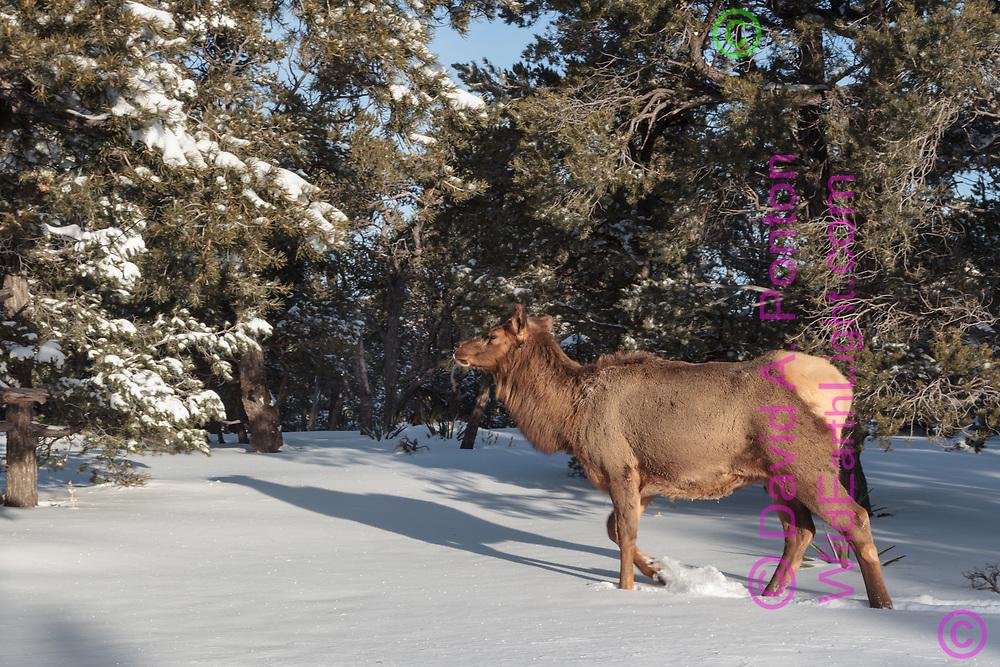 Cow elk walks in fresh snow through  pinon-juniper woodland, south rim, Grand Canyon National Park, © David A. Ponton