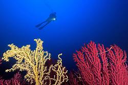 scuba diver with colorful gorgonians in deep blue water, Paramuricea clavata, Gerardia savaglia, taucher mit Roten Gorgonien und gelber Strauchkoralle