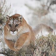 Mountain lion running through sage brush in the Bridger Mountains of Montana. Captive Animal