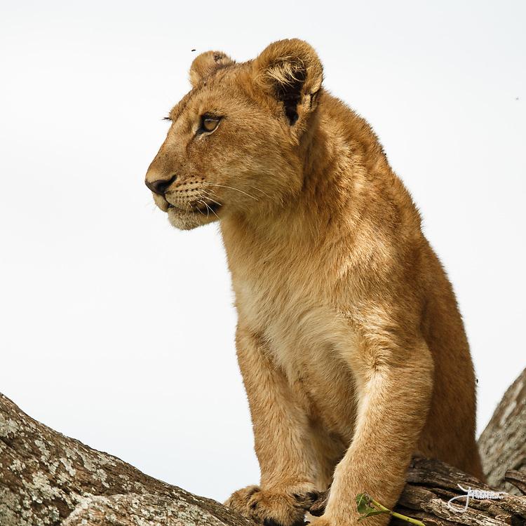 Lion Cub Serengeti