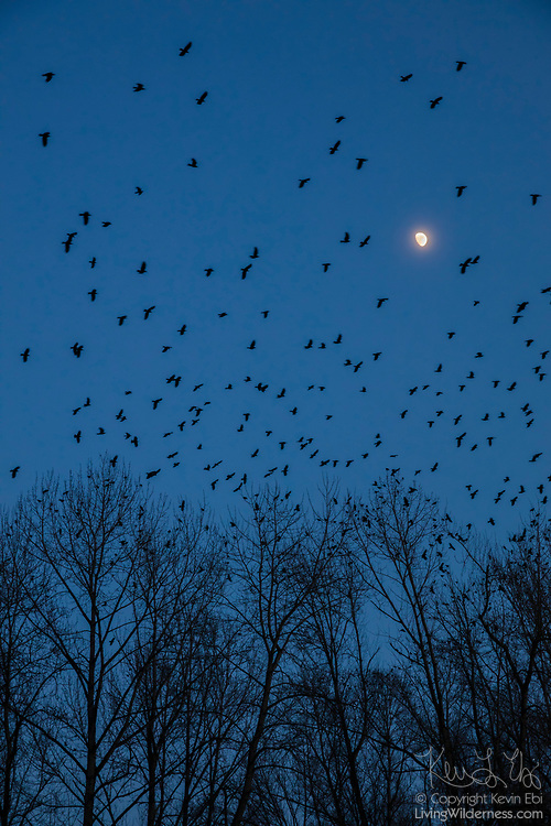 A large flock of American crows (Corvus brachyrhynchos), known as a murder, flies over trees lining the Sammamish River in Bothell, Washington, as the moon rises. During the winter months, about 16,000 crows roost each night in the area in restored wetlands.