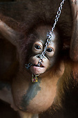 Baby orangutan who was rescued after spending SIX MONTHS chained by the neck