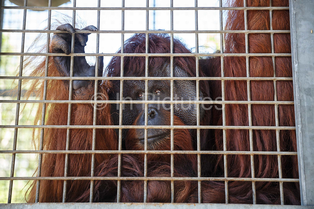 A large male orang-utan clings to the bars of his cage in Nyaru Menteng Rehabilitation Centre, run by the Borneo Orangutan Survival Foundation, in Central Kalimantan, Borneo, Indonesia on 22nd May 2017. The centre houses around 450 rescued orangutans who have been displaced from their habitats by human activity. After extensive rehabilitation and preparation, many of them will be reintroduced into the wild, but some animals have illnesses or injuries that means they have to remain in the sanctuary indefinitely.