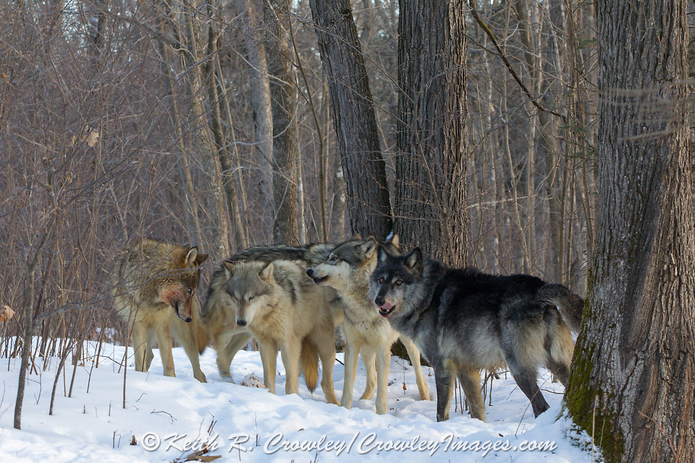 A pack of five gray wolves in wooded winter habitat. Captive pack.
