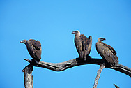 African white-backed vulture group perched on dead tree branch. White back is concealed in ordinary posture, Serengeti National Park. © David A. Ponton