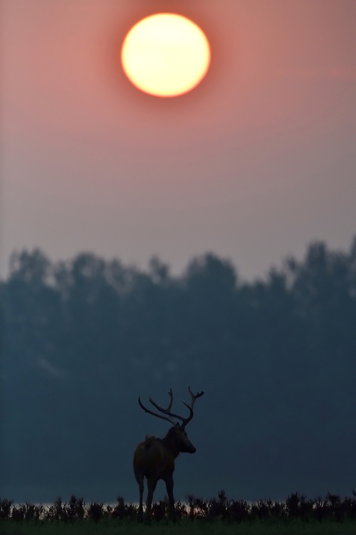 Père David's deer, or Milu, Elaphurus davidianus, a stag with the sunrise and sun in the background at Hubei Tian'ezhou Milu National Nature Reserve, Shishou, Hubei, China