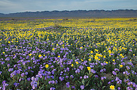 Carrizo Plains National Monument, California. Purple Valley phacelia (Phacelia ciliata)and yellow Goldfields (Lasthenia sp.) carpeting the plains near Soda Lake