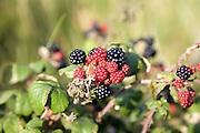 Red and black blackberry fruit on bramble bush